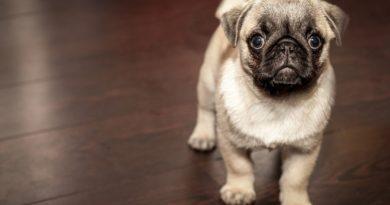 dog-boxer